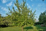 4502_apple_tree.jpg