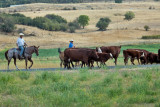 4753_Cattle_drive.jpg