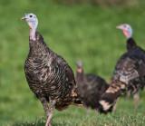Turkeys of Northern Utah