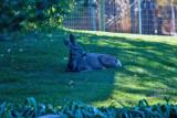 4569_Deer_laying_down.jpg