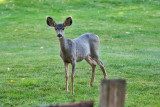 4706_Deer_in_backyard.jpg