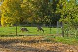 4703_Deer_in_lower_pasture.jpg