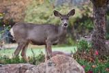4911_Deer.jpg
