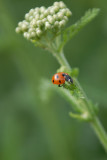 Ladybird in the spotlight