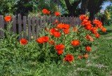 DSC_2067 Poppies.jpg