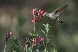 Magnificient Hummingbird (Female)