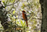Hepatic Tanager (Male)