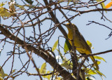 Hepatic Tanager (Female)