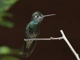 Magnificent Hummingbird (Male)