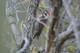 Arizona Woodpecker (Male)