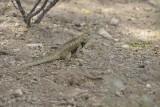 Armorclad Colorful Arizona Lizard