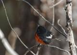Painted Redstart Warbler