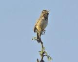 Arizona's State Bird