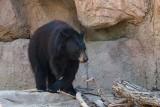 Healthy Black Bear