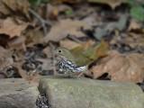 ^Ovenbird