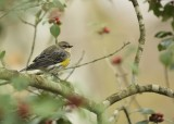 ^Yellow-rumped  -  Myrtle Warbler