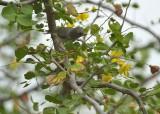 Black-tailed Gnatcatcher (Immature)