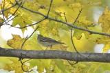 ^Blackpoll Warbler
