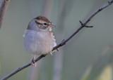 Sparrow species
