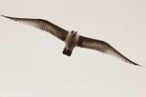 Various Seagulls