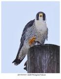 20170119-1 3229 Peregrine Falcon.jpg