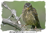 20140618 153 Red-winged Blackbird juv.jpg