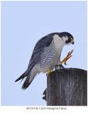 20170119-1 3237 Peregrine Falcon.jpg