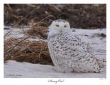 20160201-2 387 Snowy Owl.jpg
