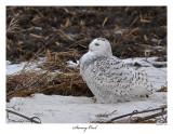 20160201-2 354 Snowy Owl.jpg