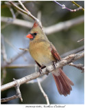 20170329 6186 SERIES - Northern Cardinal.jpg