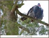 20170322 5466 Wild Turkey r1.jpg
