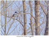20170410 6682 Belted Kingfisher xxx.jpg