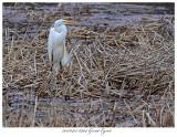 20170412 6904 Great Egret.jpg