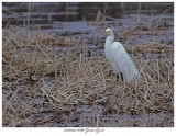 20170412 6860 Great Egret.jpg