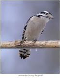 20170329 6097 Downy Woodpecker.jpg