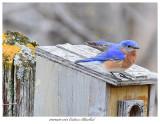 20170420 7383 SERIES - Eastern Bluebird.jpg