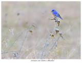 20170420 7363 Eastern Bluebird.jpg