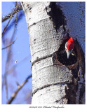20170416 7073 Pileated Woodpecker xxx.jpg