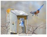 20170426 8513 Eastern Bluebird.jpg