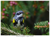 20170504 7989 Yellow-rumped Warbler.jpg