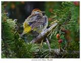 20170509 8560 SERIES -  Palm Warbler.jpg