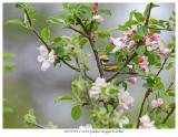 20170519-1 2814 Golden-winged Warbler.jpg