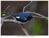 20170513 0420 Black-throated Blue Warbler.jpg