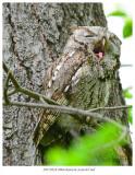 20170524 8966 Eastern Screech Owl.jpg