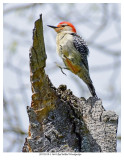 20170519-3 3644 Red-bellied Woodpecker.jpg