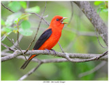 20170605  1861 Scarlet Tanager r1.jpg