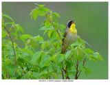 20170519-2 3049 SERIES -  Common Yellowthroat.jpg