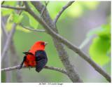 20170605  1756 Scarlet Tanager.jpg