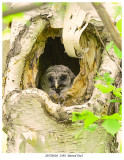 20170610  2492 SERIES -  Barred Owl r1.jpg
