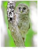 20170613-1  3059 Barred Owlet.jpg